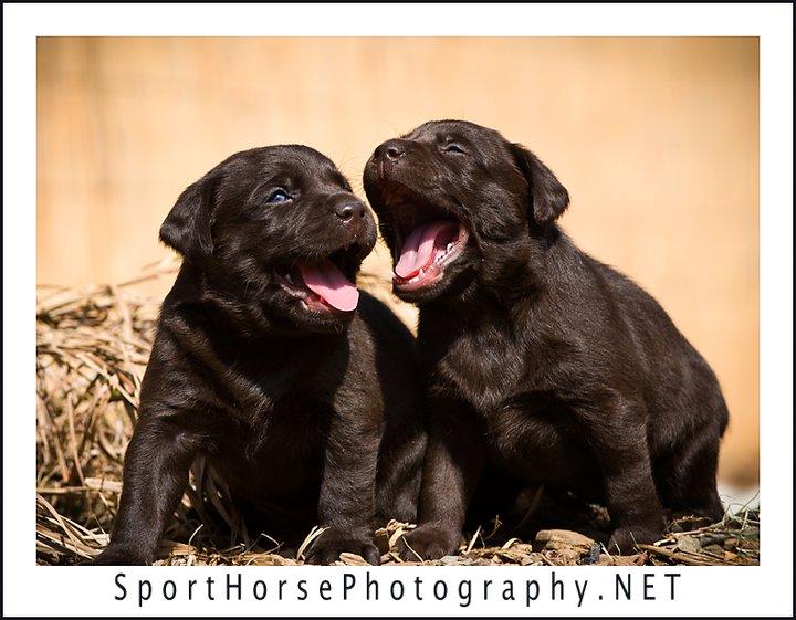 Labrador puppies for sale san diego